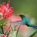 beija-flor-fronte-azul_dsc_6972