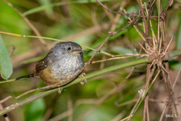 Tapaculo-pintado (Psilorhamphus guttatus). Créditos Raul S. - IMG_1178