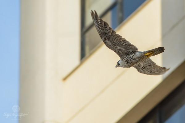 Falcão-peregrino em pleno voo em Limeira . Créditos Tiago Degaspari - ECOFOTO (DSC_5756)