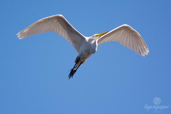 Garça-branca-grande | DSC9322