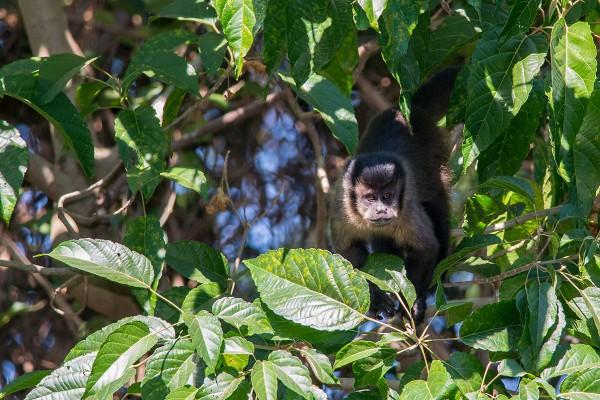Macaco-prego se alimentando na borda da mata. Créditos Tiago D.