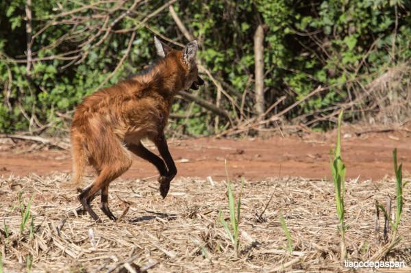 Lobo-guara.