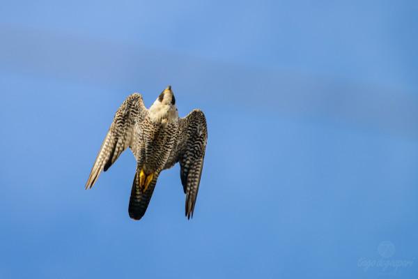 Falcão-peregrino em pleno voo em Limeira . Créditos Tiago Degaspari - ECOFOTO (DSC_5749)