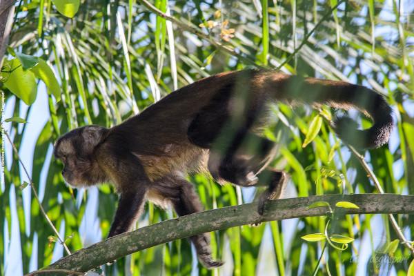 Macaco-preto.
